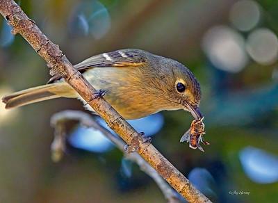 Tennesee Warbler