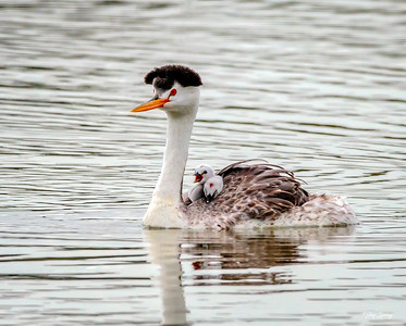 Clark's Grebe and Chicks