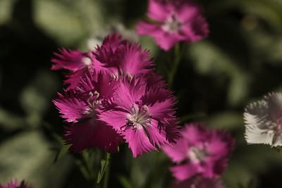 pinks01
