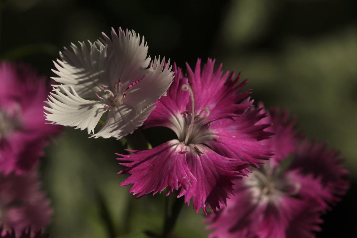 pinks02