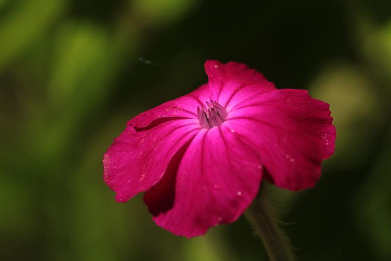 rosecampion