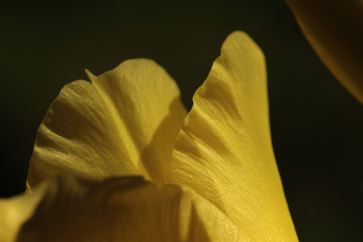 gladiolus02