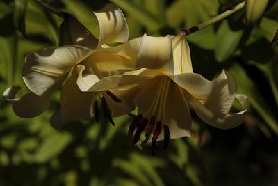 lilies03
