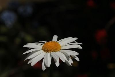 daisy01