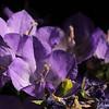 belleflower01