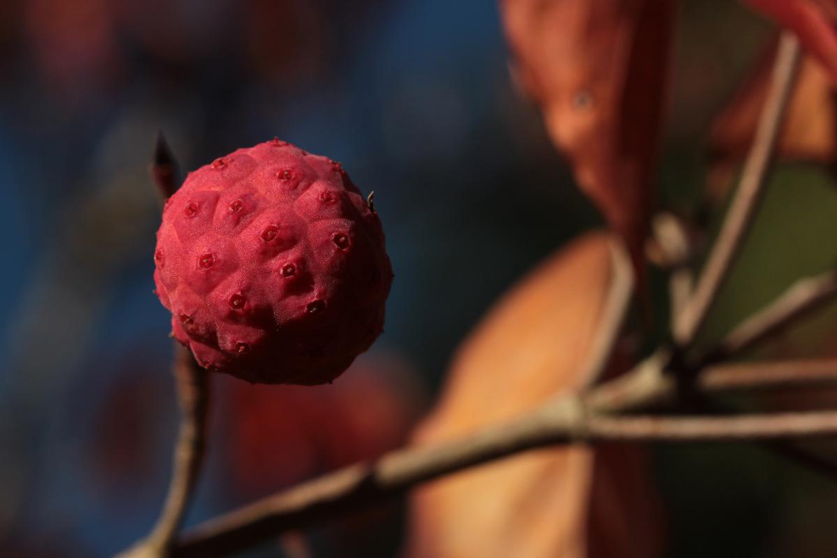 dogwoodfruit
