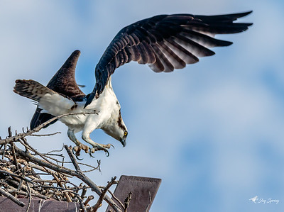 Osprey in Flight landing