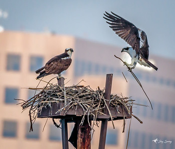 Osprey in Flight with Nest Stick