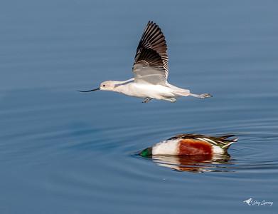 American Avocet running duck Hurdles