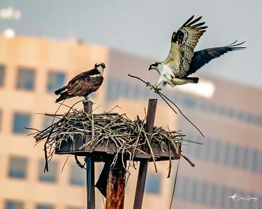 Osprey in Flight with Nest Stick