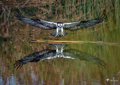 Osprey in Flight Grabbing Nesting Materials