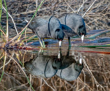American Coot Reflections