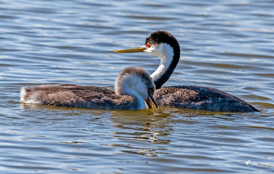 Western Grebe Adult and 6 week old Chick