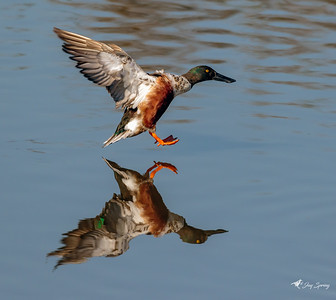 Northern Shoveler in Flight Landing