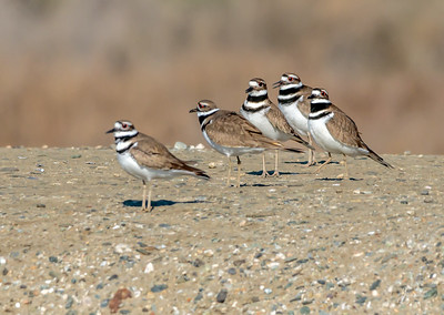 Killdeer All in Uniform