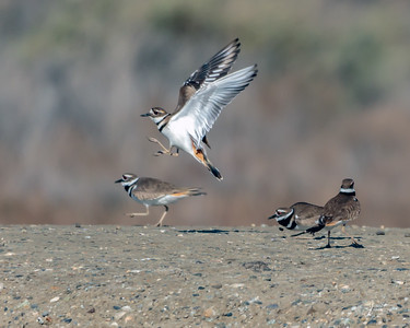 Killdeer Hopscotch