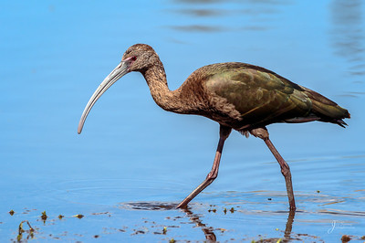 White Faced Ibis Posing