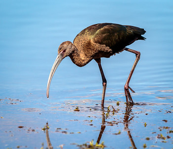 White Faced Ibis Out for a Stroll
