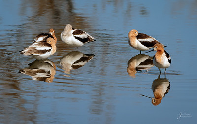 American Avocets Sleeping
