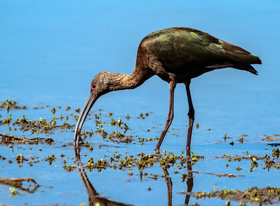 White Faced Ibis with Crawdad