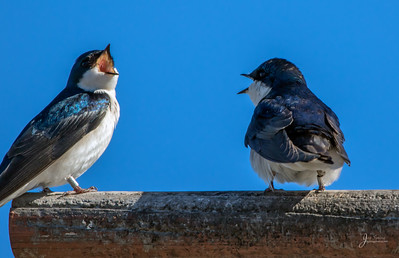 Tree Swallows Bickering