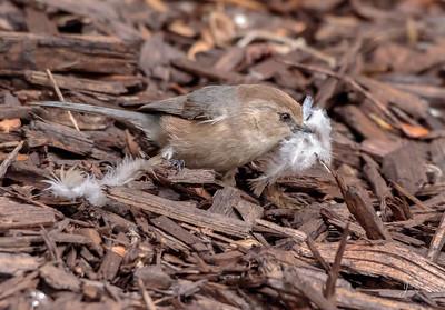Bushtit collecting nesting Materials