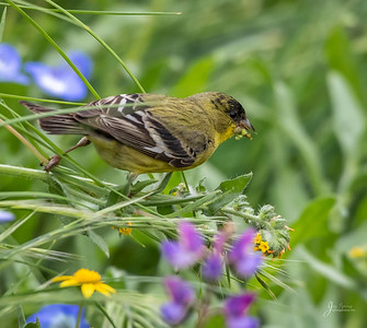 Male Lesser Goldfinch on Flower