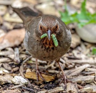 California Towhee with bugs