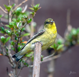 Young Male Lesser Goldfinch