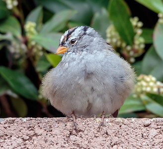 White Crowned Sparrow Poffed Up