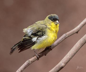 Male Lesser Goldfinch Portrait