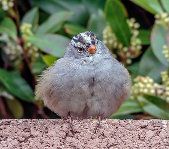 Young White Crowned sparrow Poffed up