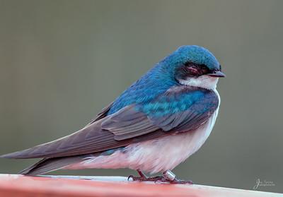 Sleepy Tree Swallow
