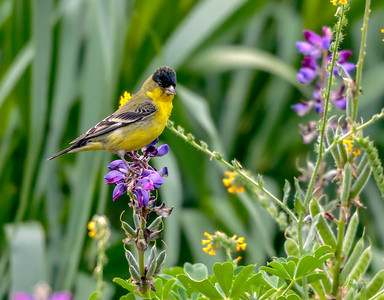 Male Lesser Goldfinch in flowers