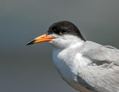 Forster's Tern Portrait