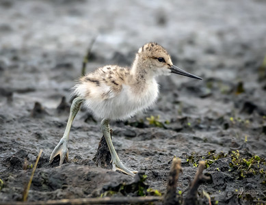 American avocet Chick about Two Weeks Old