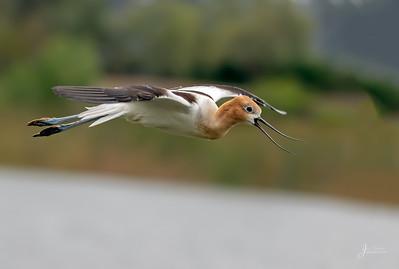 American Avocet in Flight