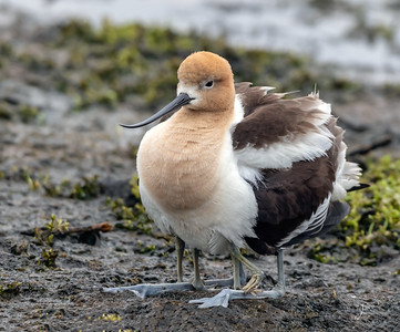 American Avocet with Chicks Underneath