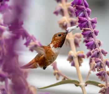 Allen's Hummingbird  In Flight at Flower
