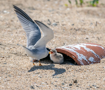 Least tern Adult and Chick