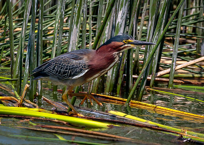 Green Heron on the Move