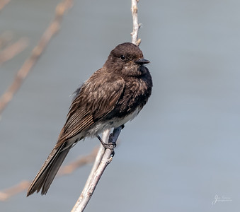 Black Phoebe Portrait