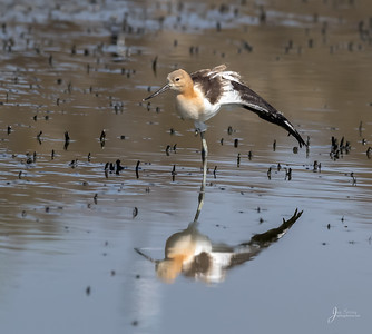 7 Week Old American Avocet Stretching