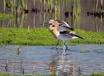 American Avocets Stepping out