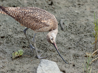Long billed Curlew Twisted up