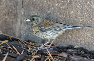 Juvenile Dark eyed Junco