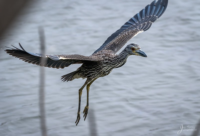 Juvenile Yellow crowned Night heron in Flight