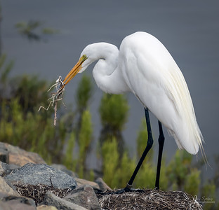 Great Egret with Sticks