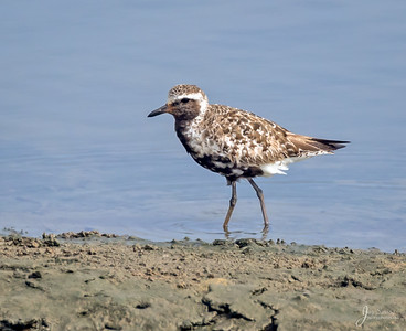 Black Bellied Plover transitioning from breeding plumage