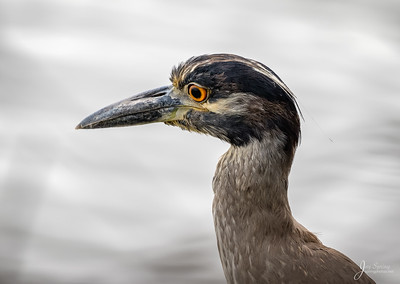 Immature Yellow crowned Night heron